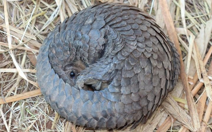 pangolin-zim-rescue-7