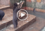 bear_zoo_indonesia_starving