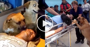 dog_ambulance_cover_peru_video