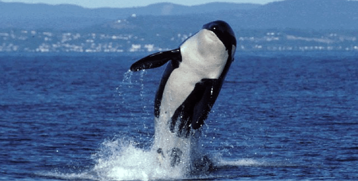 World's oldest known killer whale Granny presumed dead