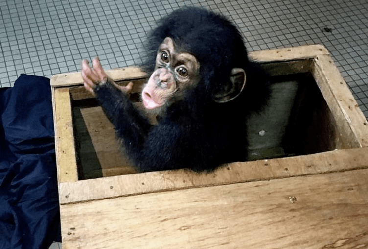 Baby Chimp Whose Parents Were Killed By Smugglers Gets