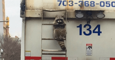 racoon_garbage_truck_cover