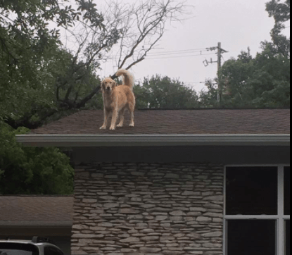 This Golden Retriever Is Causing Quite A Stir With His