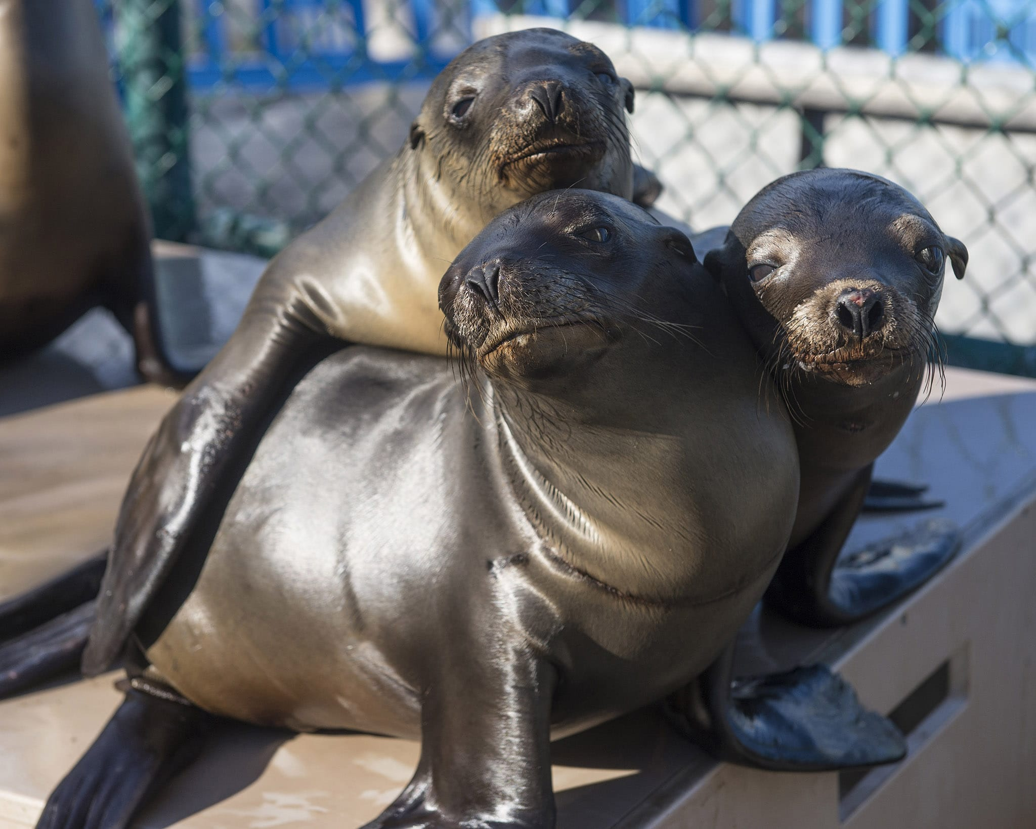SAN DIEGO, CA - JANUARY 27: In this handout image provided by SeaWorld San Diego, California sea lion pups recover at SeaWorld San Diego's Animal Rescue Center January 27, 2015 in San Diego, California. The marine park, along with other rehabilitation facilities along the California coastline, is seeing a dramatic increase in the number of ailing sea lions stranded on beaches this year. The young animals, six to eight months old, are found extremely lethargic, malnourished and dehydrated. It's not known with certainty why the region is seeing a larger number of strandings this early in 2015, however, there could be insufficient food sources for the sea lions. SeaWorld San Diego has rescued 62 marine mammals since Jan. 1, and 60 of those are California sea lions. (Photo by Mike Aguilera/SeaWorld San Diego via Getty Images)