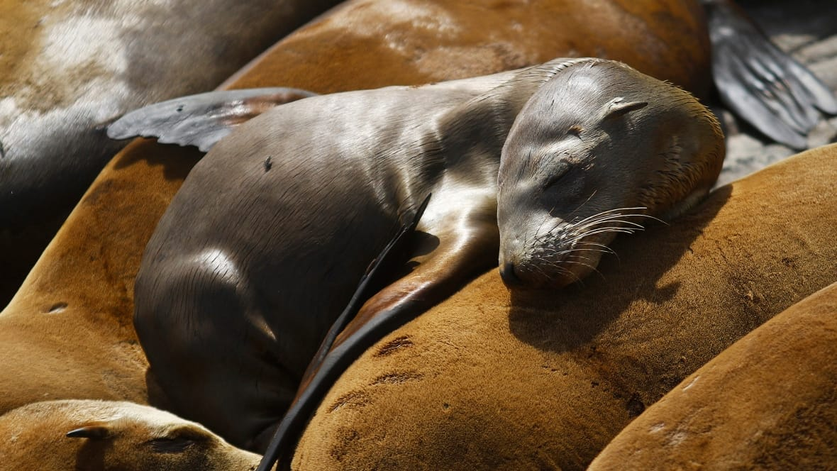 sealion-starving-california-6