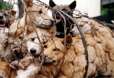 yulin_dog_meat_ban_cover