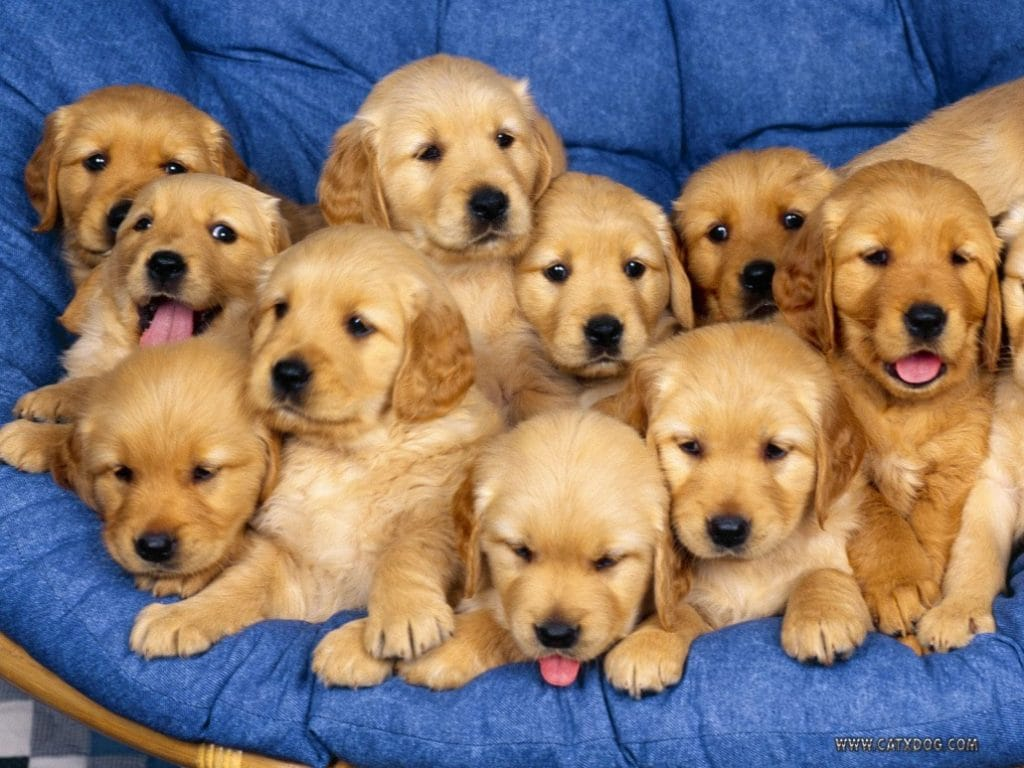 15 Pictures Of The Cutest Golden Retriever Puppies That Will Make