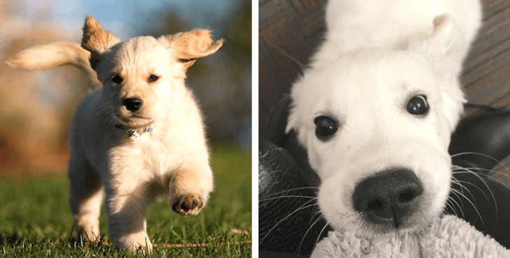 15 Pictures Of The Cutest Golden Retriever Puppies That Will