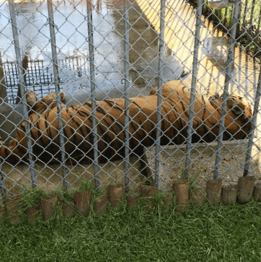 Purtis Creek additionally robsonfamilytree co moreover This Famous Tiger Trapped In Concrete Cage At Truck Stop For 17 Years Has Just Died besides Sugarlandbaptist furthermore Faithnchaos blogspot. on sandlin family history