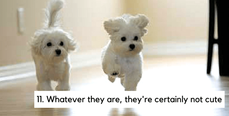 19 reasons you should avoid maltese dogs at all costs