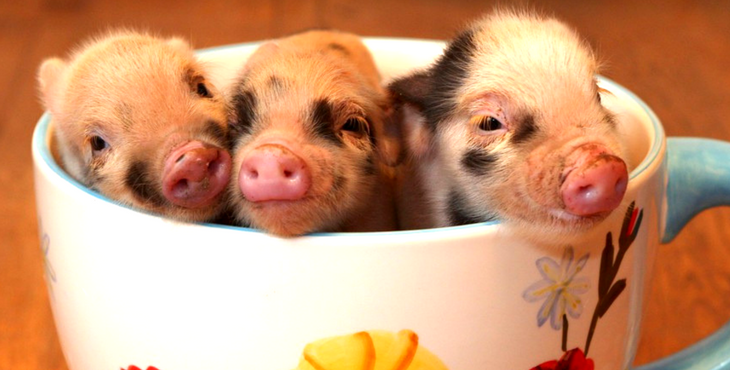 Why You Should Never Buy A Micro Pig | HolidogTimes