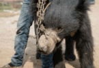 dancing bears rescued
