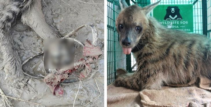 Hyena Mutilated By Jaw Trap In India | HolidogTimes
