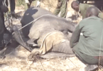 elephants calves poached