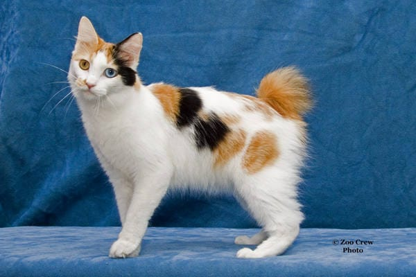 Japanese Bobtail Cat: More About The Breed | HolidogTimes