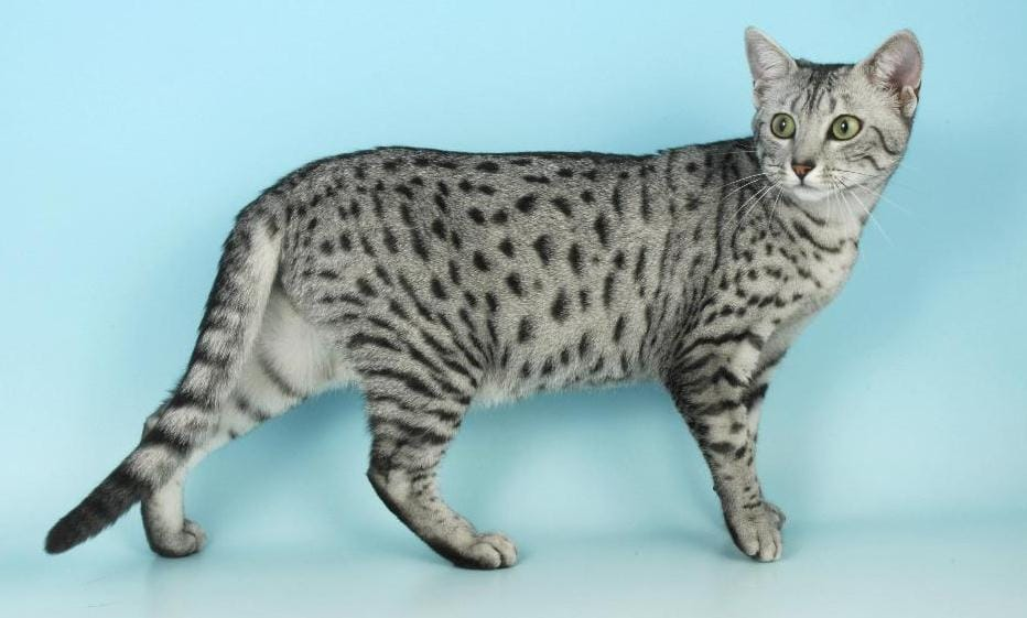 Egyptian Mau Cat The Egyptian Cat To Adopt Holidogtimes