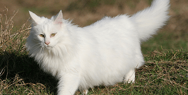 Turkish Angora Cat Everything You Need To Know Holidogtimes