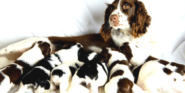 Dog Pregnancy: Symptoms And Dangers   HolidogTimes