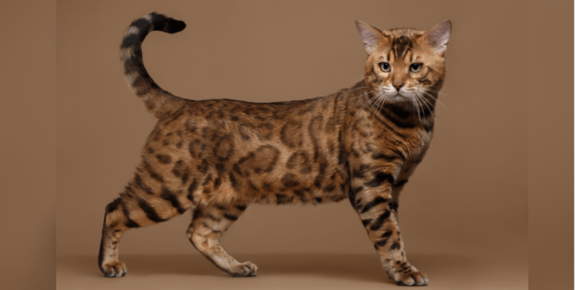 Bengal Cat Or Kitten: Discover Their Personality | HolidogTimes