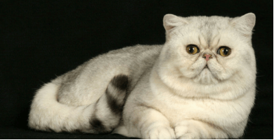 Exotic Shorthair Cat: The Shorthaired Persian | HolidogTimes