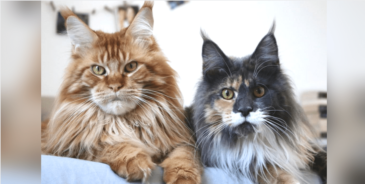 17 reasons to never adopt a maine coon cat holidogtimes. Black Bedroom Furniture Sets. Home Design Ideas