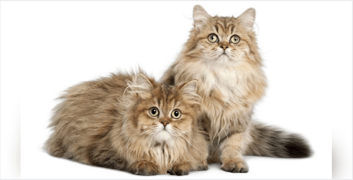 Cat Breeds That Get Along With Other Catws