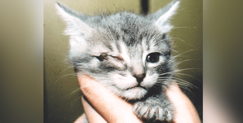 Conjunctivitis In Cats Treatment To Cure It Holidogtimes