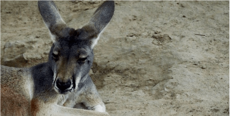 Female Kangaroo Stoned To Death In Zoo In China