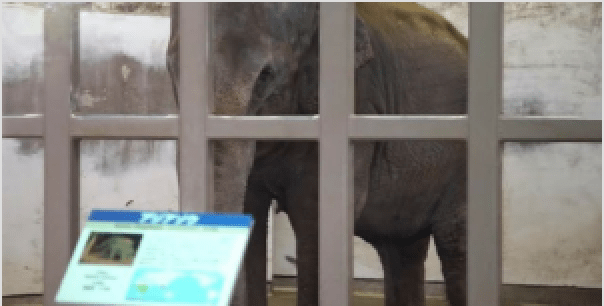 Elephant Held In Captivity And Completely Alone For 29 Years In Japan