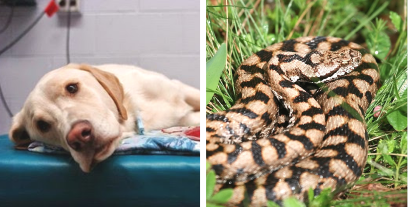 How To Treat A Dog That Has Been Snake Bite