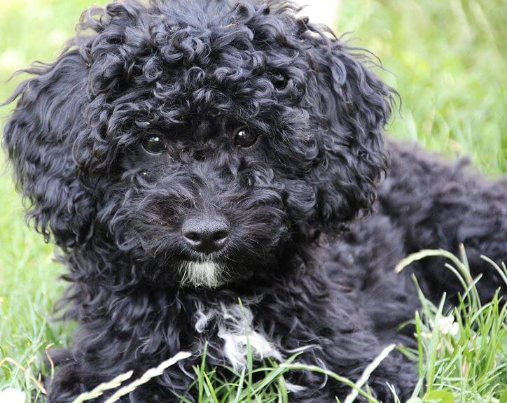 Barbet Dog Find Out About The Ideal Family Dog