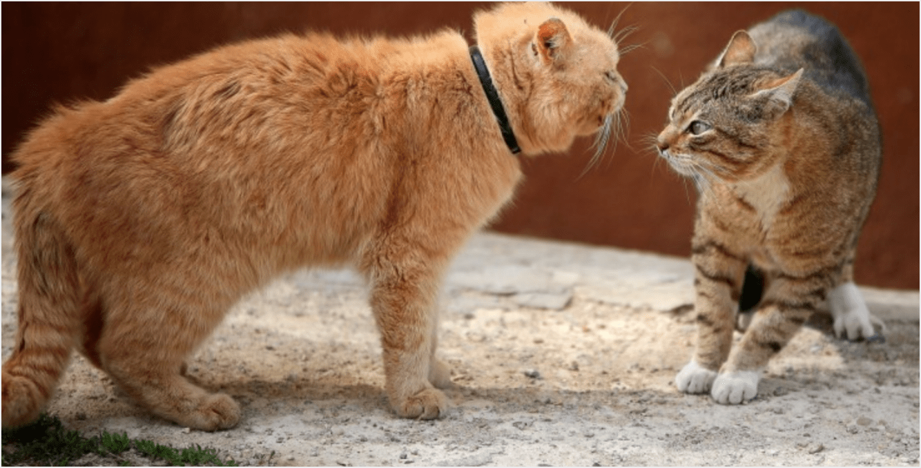 Cat Fighting: What To Do If Your Cat Fights
