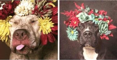 pitbull-photos-flowers-sophie-gamand-1