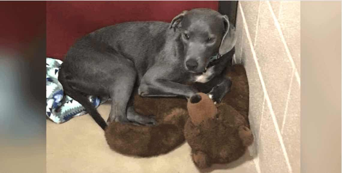 Loyal Dog Dumped At Busy Shelter Won't Let Go Of Her Teddy Bear